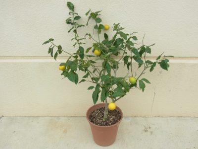 やってみよう【鉢植えで楽しむ「レモン(檸檬)」】
