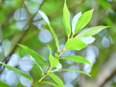 せいかつ緑化計画【勝利の象徴「ゲッケイジュ(月桂樹)」】