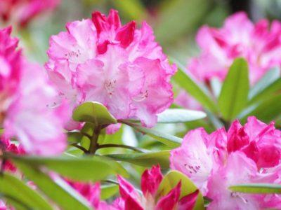 せいかつ緑化計画【華麗に咲きほこる「セイヨウシャクナゲ(石楠花)」】