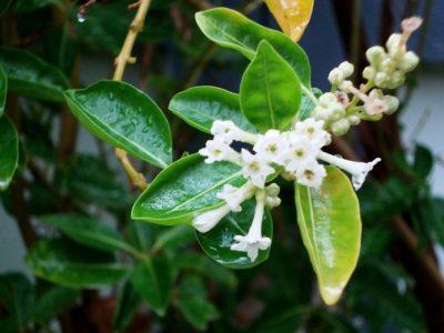 せいかつ緑化計画【柔らかな印象の庭木「ソヨゴ(冬青)」】