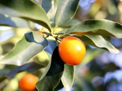 せいかつ緑化計画【楽しみ豊富な果樹「キンカン(金柑)」】