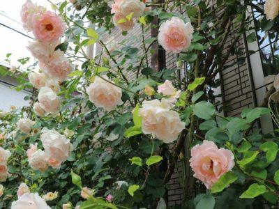 せいかつ緑化計画【手をかけて育てたい「バラ(薔薇)」】