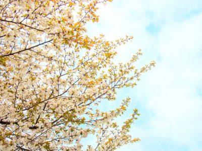 せいかつ緑化計画【春の香りを運ぶ「オオシマザクラ(大島桜)」】