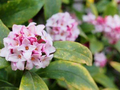 せいかつ緑化計画【春の到来を告げる「ジンチョウゲ(沈丁花)」】