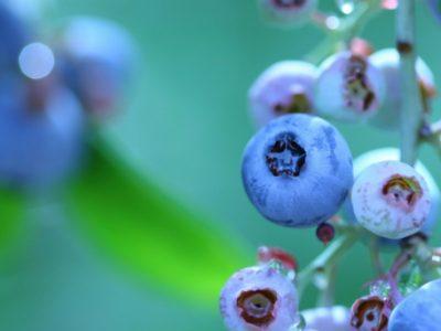 せいかつ緑化計画【眺めて食べて二度おいしい実のなる木「ブルーベリー」】
