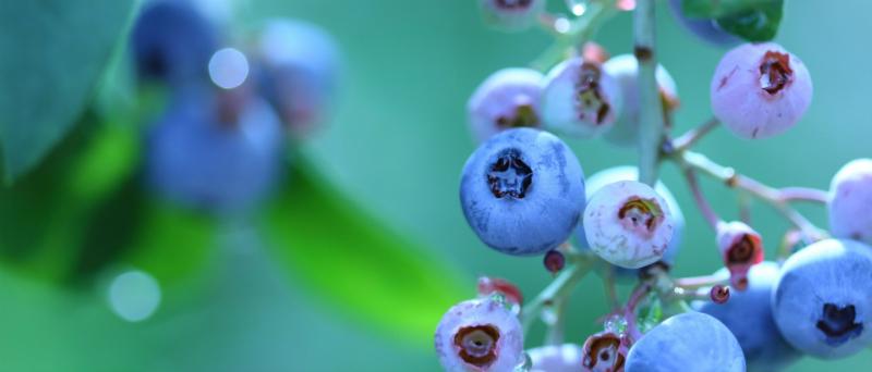 Blueberry-eye Catch