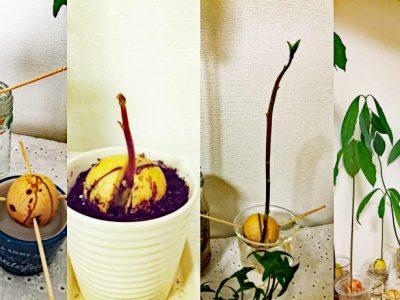 せいかつ緑化計画【アボカドの水耕栽培に挑戦】