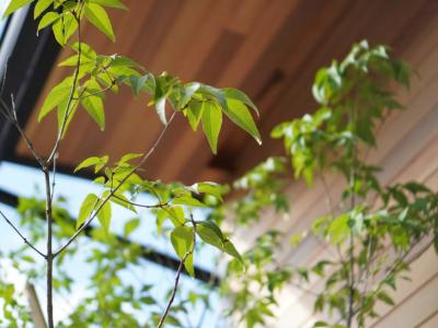 せいかつ緑化計画【おしゃれな木漏れ日を作り出す「アオダモ」】