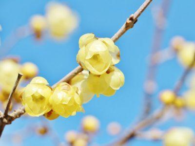 せいかつ緑化計画【冬空に香る「ロウバイ(蝋梅)」】