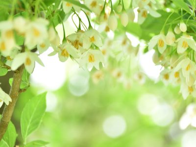 せいかつ緑化計画【自然樹形が美しい「エゴノキ」】
