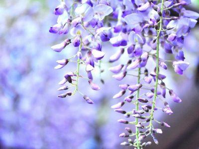 せいかつ緑化計画【優美に垂れ咲く「藤」】