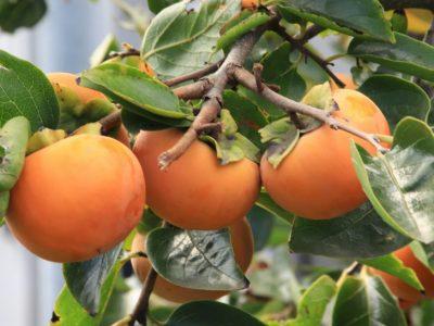実りを楽しむ冬のお手入れ「カキ(柿)」