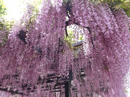 fujidana_pink