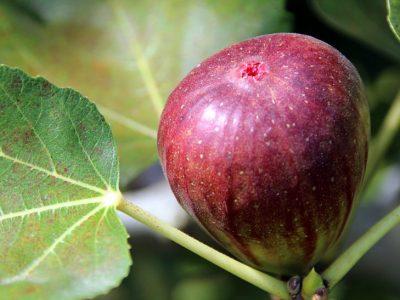 せいかつ緑化計画【不老長寿の果実「イチジク(無花果)」】