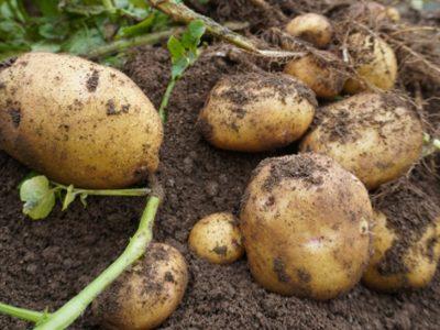 せいかつ緑化計画【手軽にはじめる小さな家庭菜園「袋栽培」】