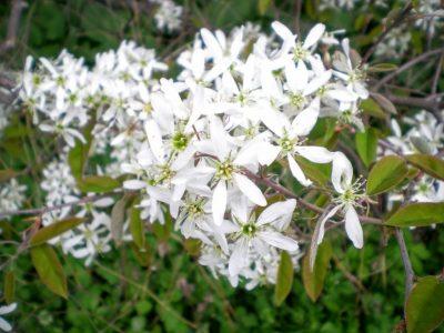 せいかつ緑化計画【魅力あふれる果樹「ジューンベリー」】