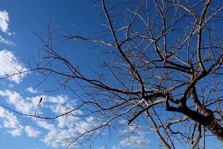 落葉したカキの木