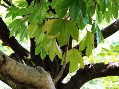 せいかつ緑化計画【天狗由来の名前の木「カクレミノ(隠れ蓑)」】