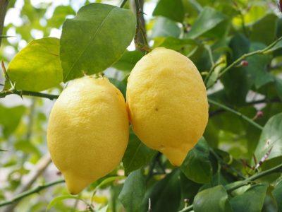 せいかつ緑化計画【魅力的な果樹「レモン」】