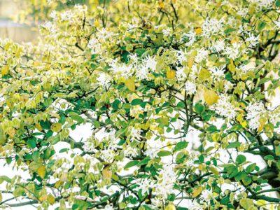 せいかつ緑化計画【花の生垣に姿を変える「トキワマンサク」】