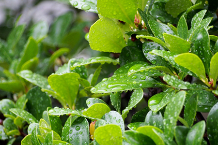 mokkoku_leaf