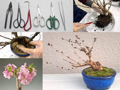 やってみよう!桜のミニ盆栽の植替え