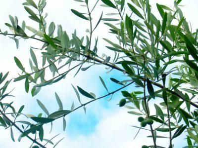 せいかつ緑化計画【幸せを運ぶシンボルツリー「オリーブ」】