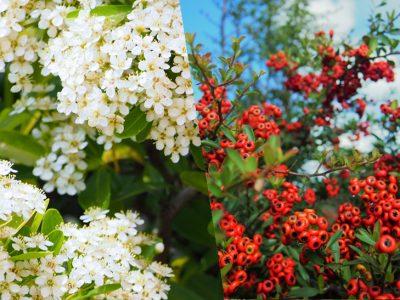 せいかつ緑化計画【花と実りが美しい「ピラカンサ」】