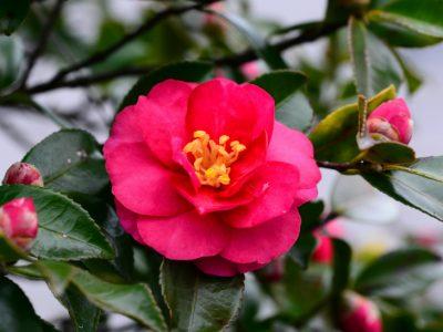 せいかつ緑化計画【冬のお庭を彩る「山茶花」】