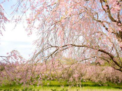 せいかつ緑化計画【優雅に咲く「しだれ桜」】