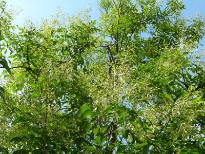 せいかつ緑化計画【シンボルツリーとして人気の「シマトネリコ」】