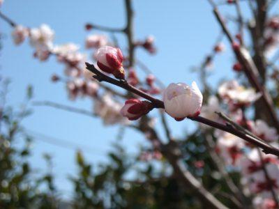 せいかつ緑化計画【花・香・実を楽しめる「梅」】